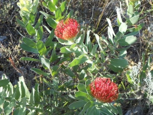 Proteas in the Fynbos
