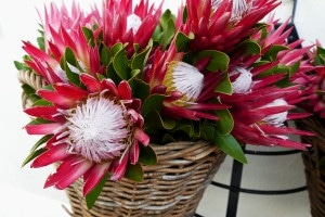 South Africa's National Flower - the King Protea