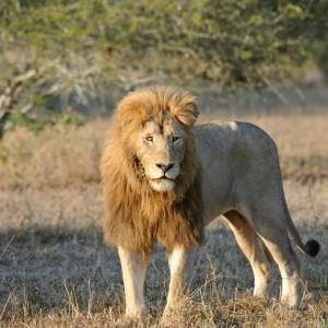 lion image 2
